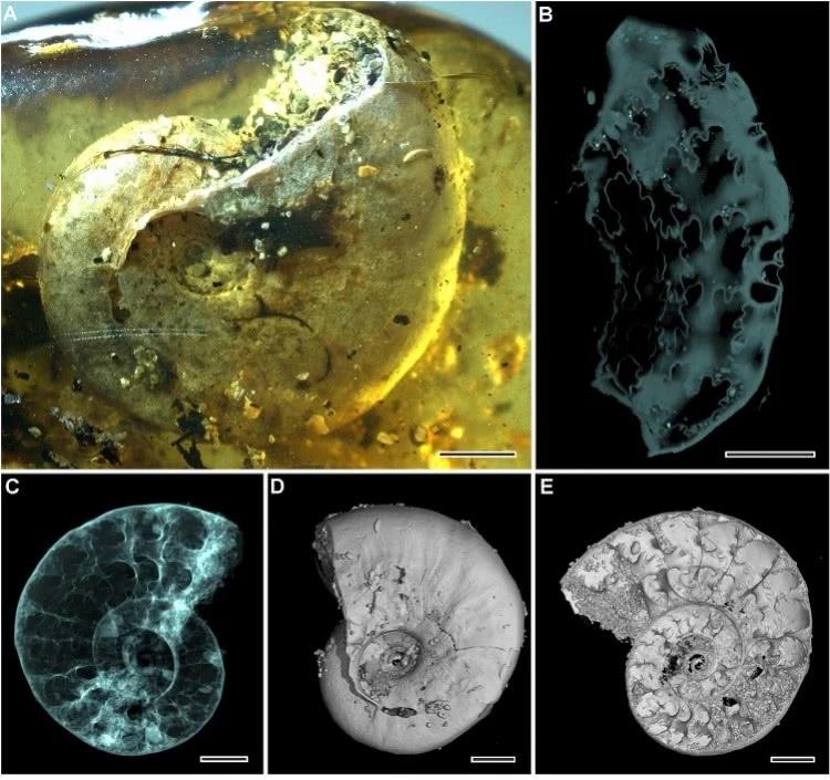 中国科学家琥珀中发现史前海相生物菊石 充填细砂粒距今约1亿年